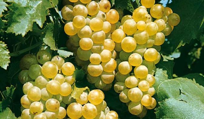 druif-moestuin