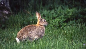 lapin-ouverture